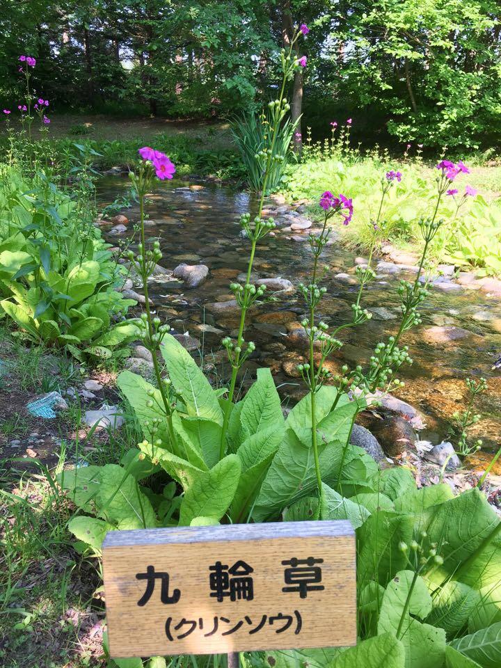 六花の森_九輪草