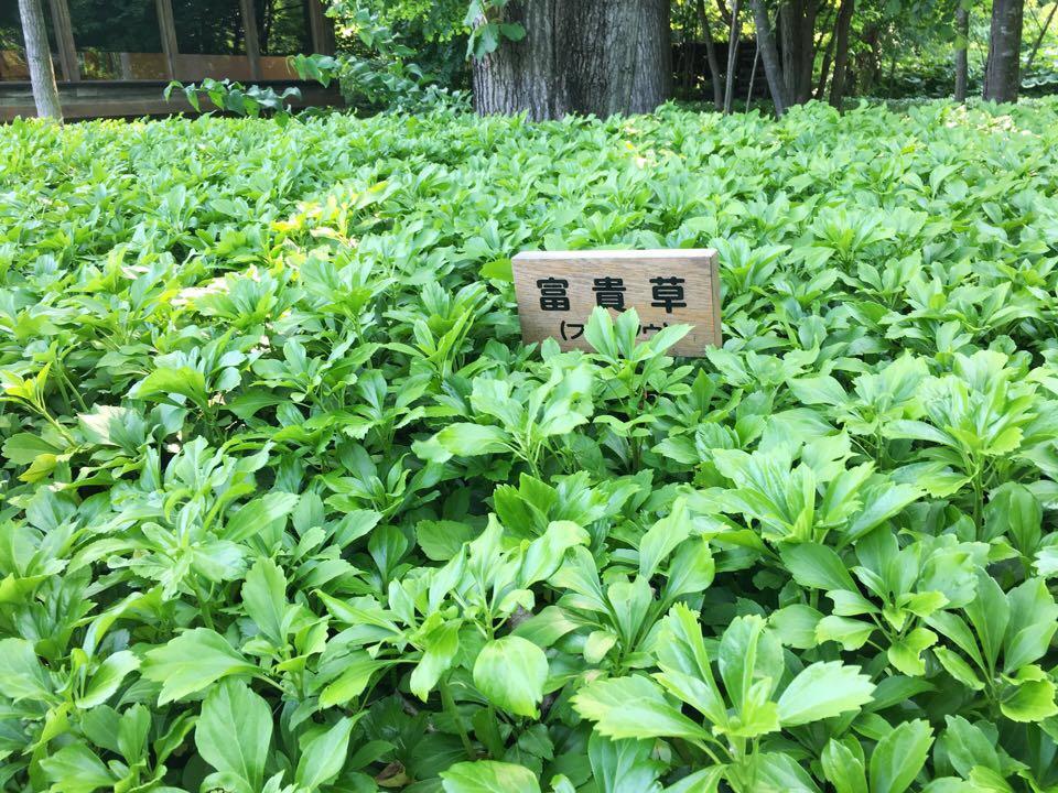 六花の森_富貴草